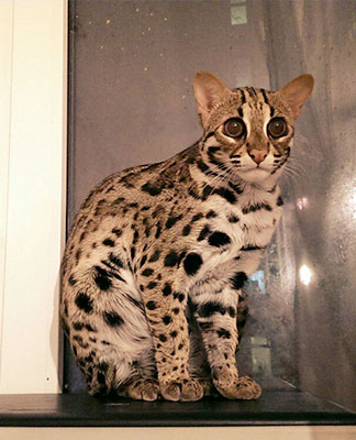 Asian leopard cat VIP-CATS.RU